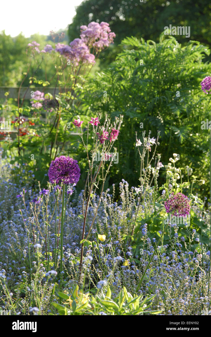 Mixed border in late spring with allium flowers, aquilegia and forget me not. - Stock Image