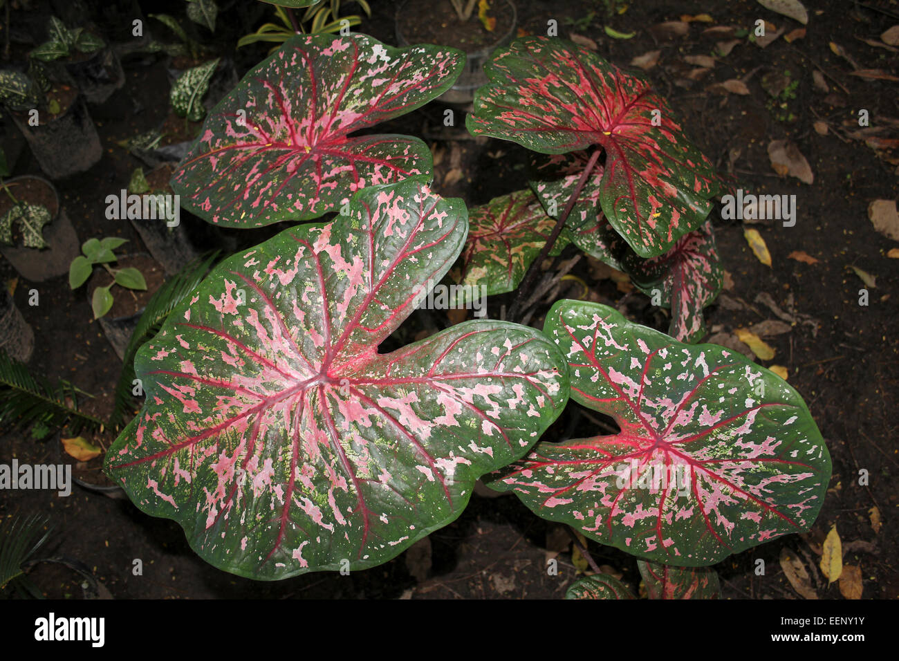 Elephant Ear Leaves (a.k.a Angels Wings, Heart Of Jesus) Fancy-leaved Caladium sp. - Stock Image