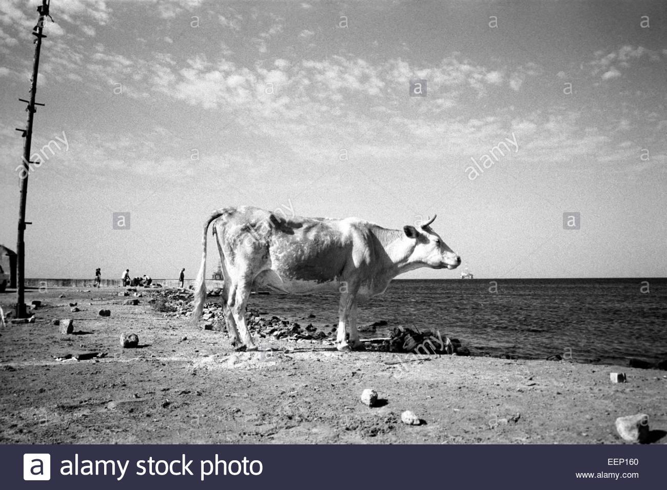 A cow and an oil platform on Caspien sea, Baku, Azerbaijan. Stock Photo