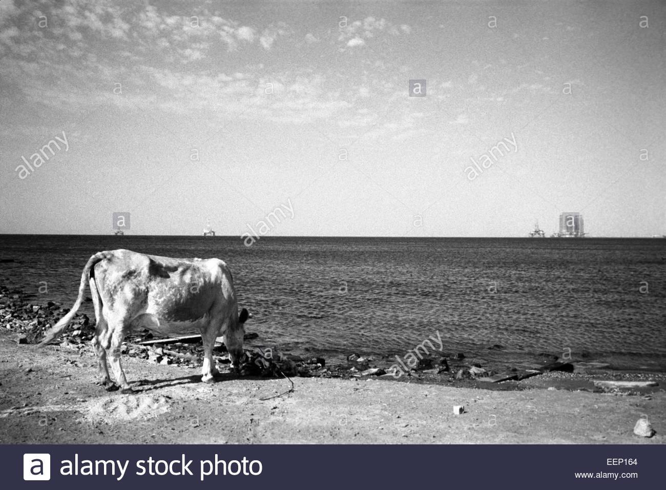 A cow and  oil platforms on Caspien sea, Baku, Azerbaijan. - Stock Image