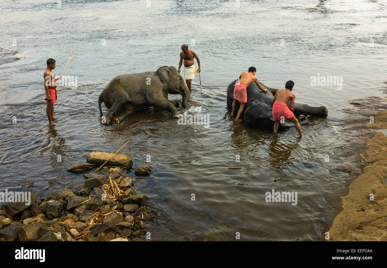 Trainers bathe young elephants at dawn in the river Periyar near Ernakulum, Kerala, India. - Stock Image