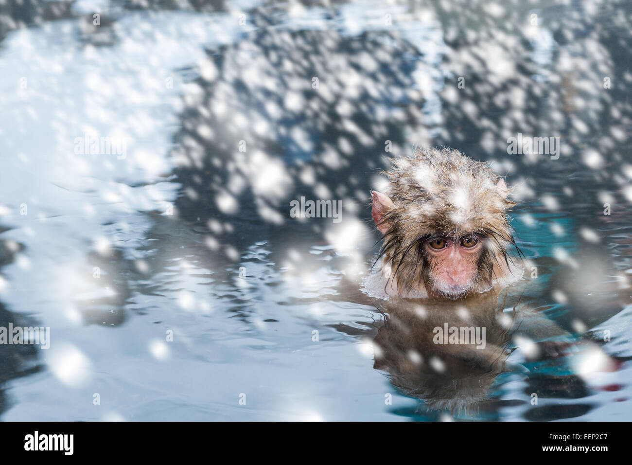 A baby snow monkey soaks in the onsen at the Jigokudani monkey park in Nagano Prefecture, Japan. Stock Photo