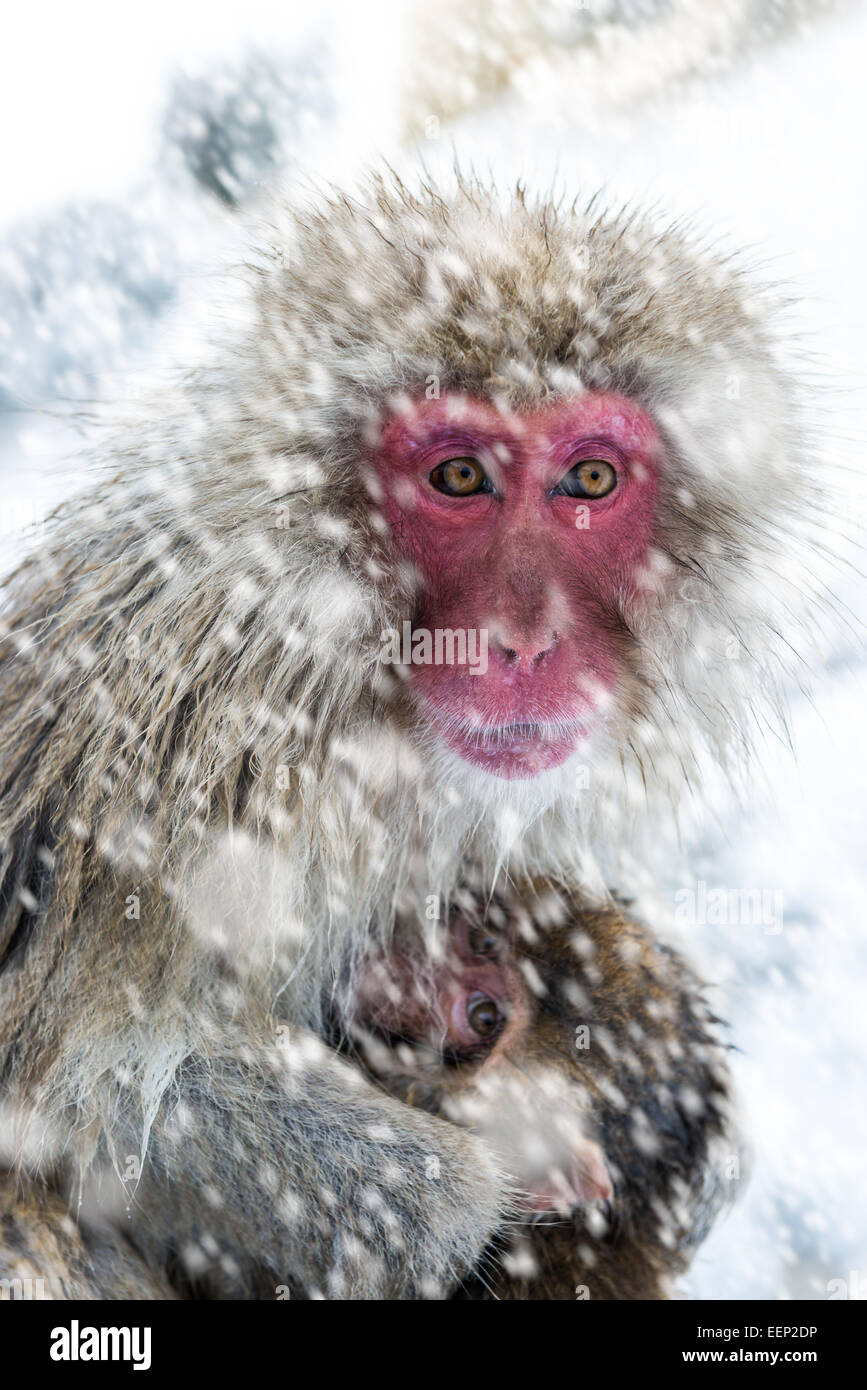 A mother snow monkey clutches her baby at the Jigokudani monkey park in Nagano Prefecture, Japan. - Stock Image