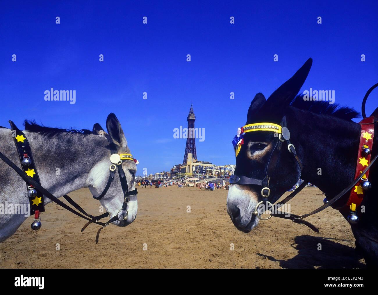 Seaside donkeys on Blackpool beach. Lancashire. England. UK Stock Photo