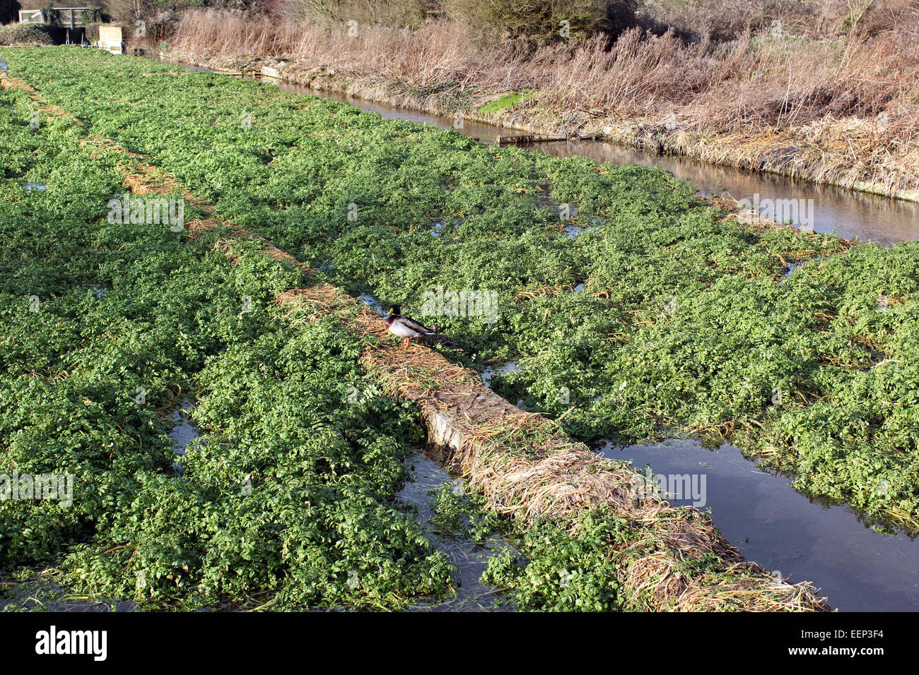 Ewelme Watercress Beds and local nature reserve Oxfordshire - Stock Image
