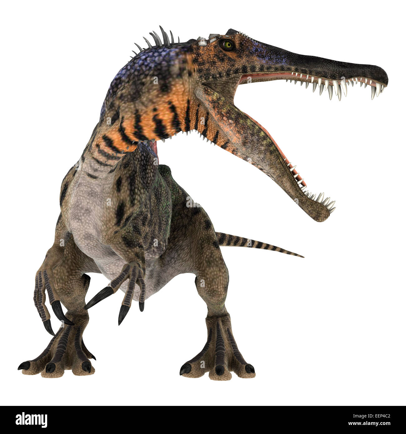 3D digital render of a curious Cretaceous dinosaur Spinosaurus or spiny lizard isolated on white background - Stock Image