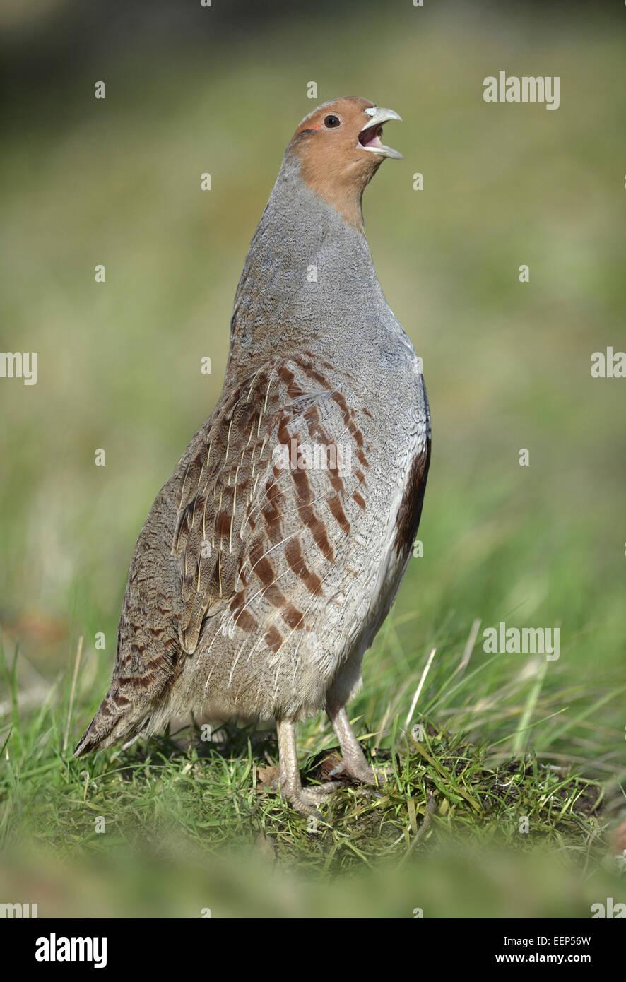 Grey Partridge - Perdix perdix - Stock Image