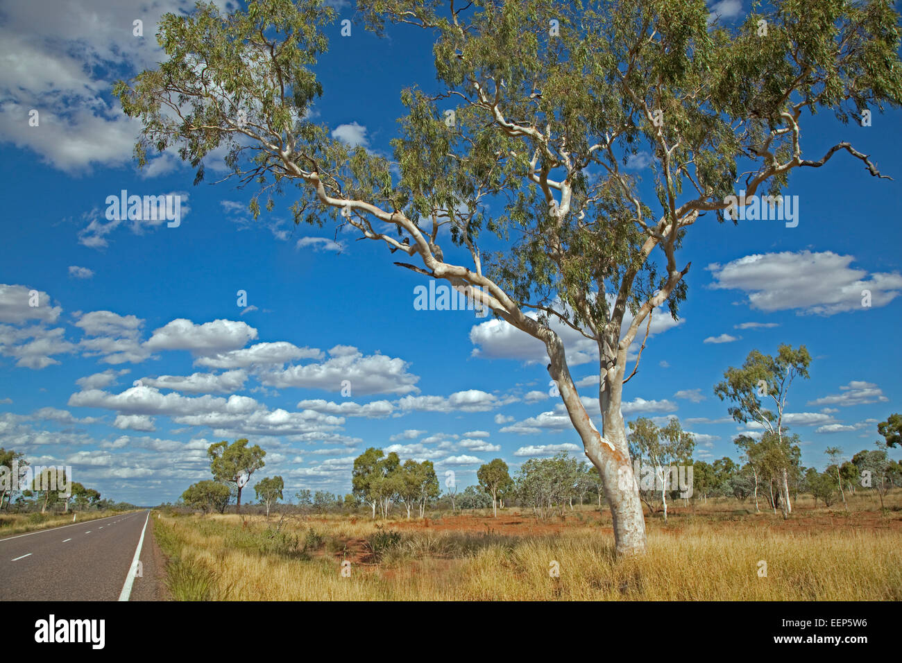 Eucalyptus tree / gum trees in the Australian outback along the Barkly Highway, Northern Territory, Australia - Stock Image