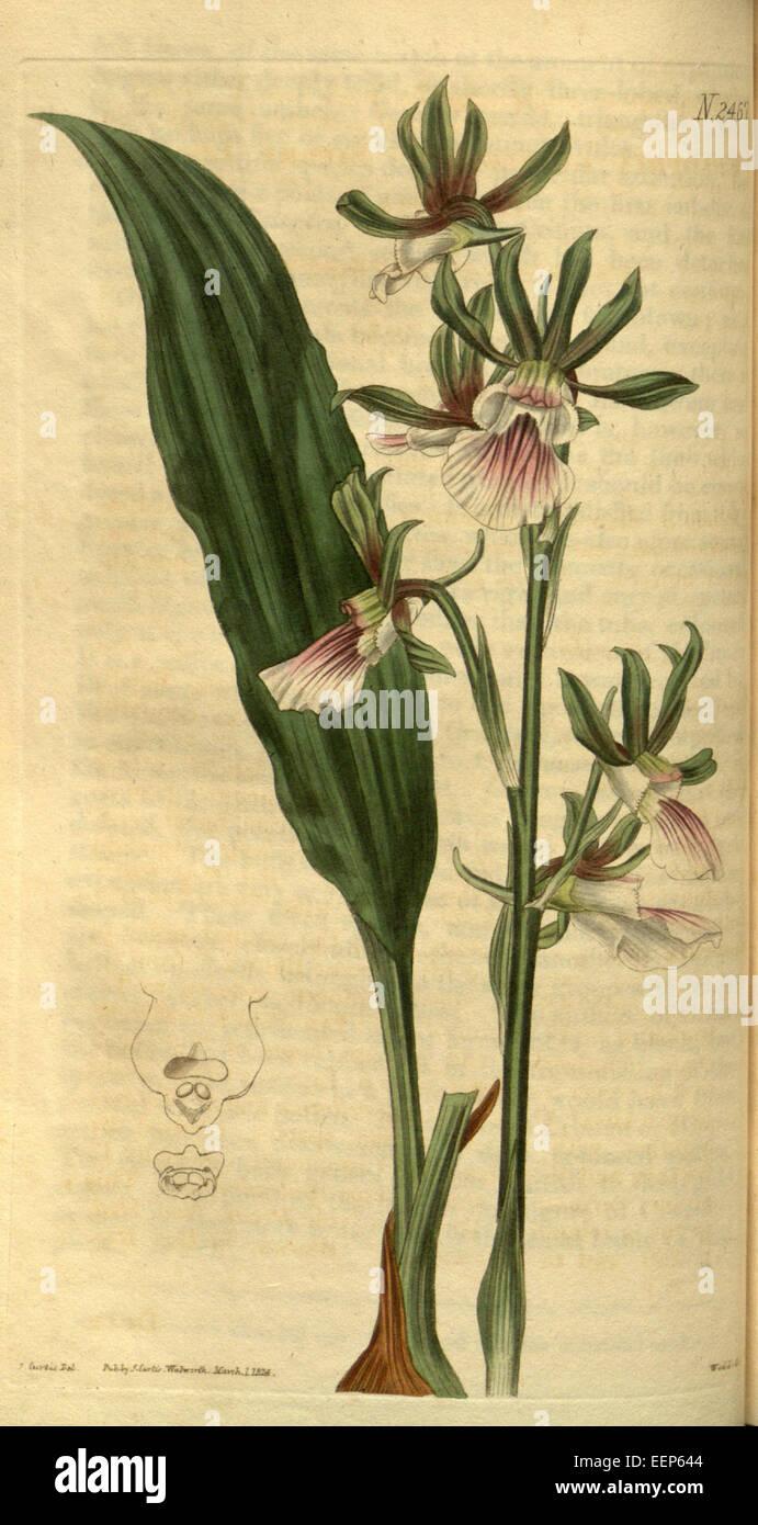 52b1aa692f5 Eulophia guineensis - Curtis  51 pl. 2467 (1824) - Stock Image