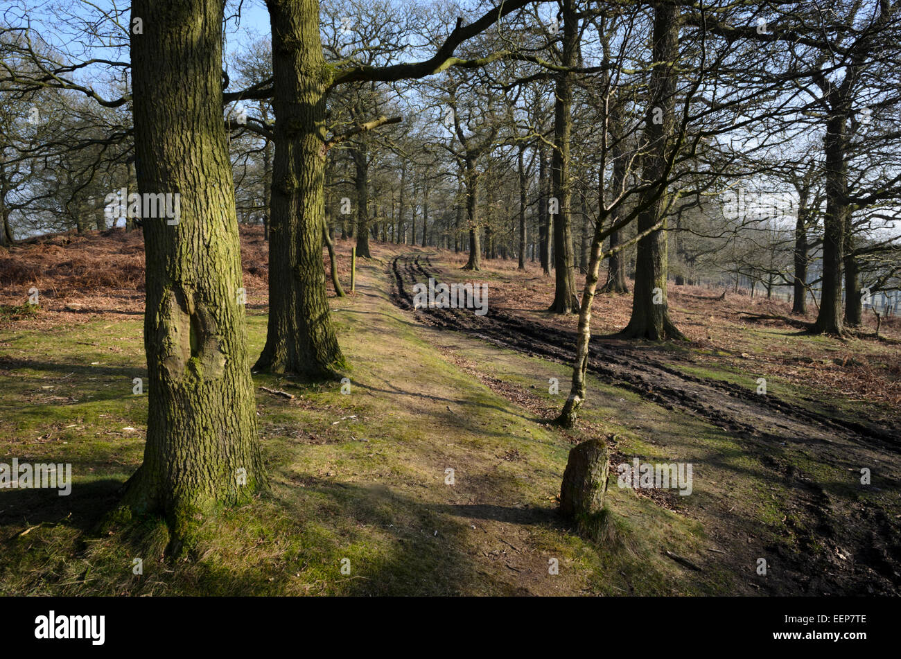 Kings Wood is a site of special scientific interest (SSSI) at Trentham, Staffordshire, UK - Stock Image