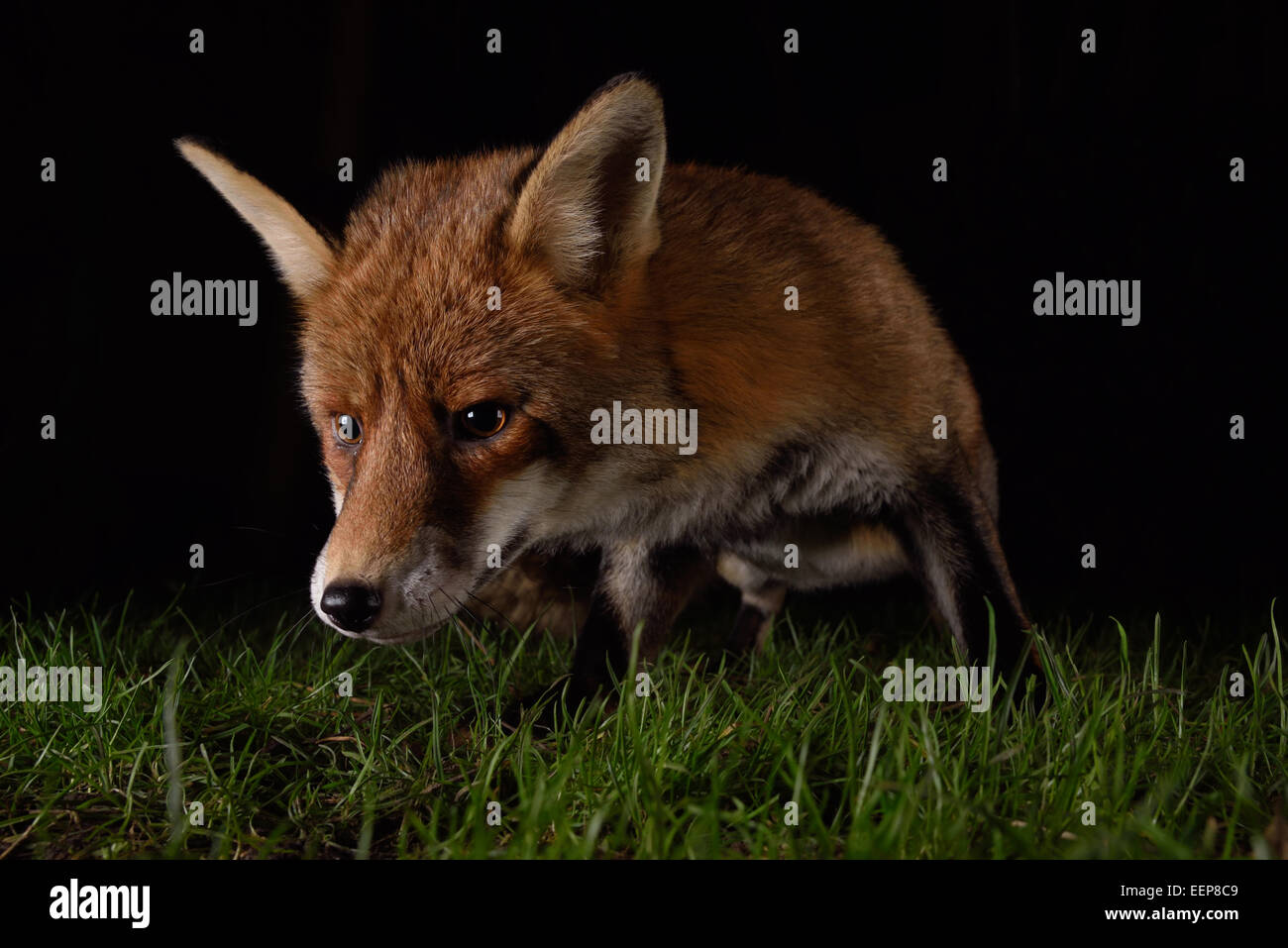 Urban Fox close up at night - Stock Image