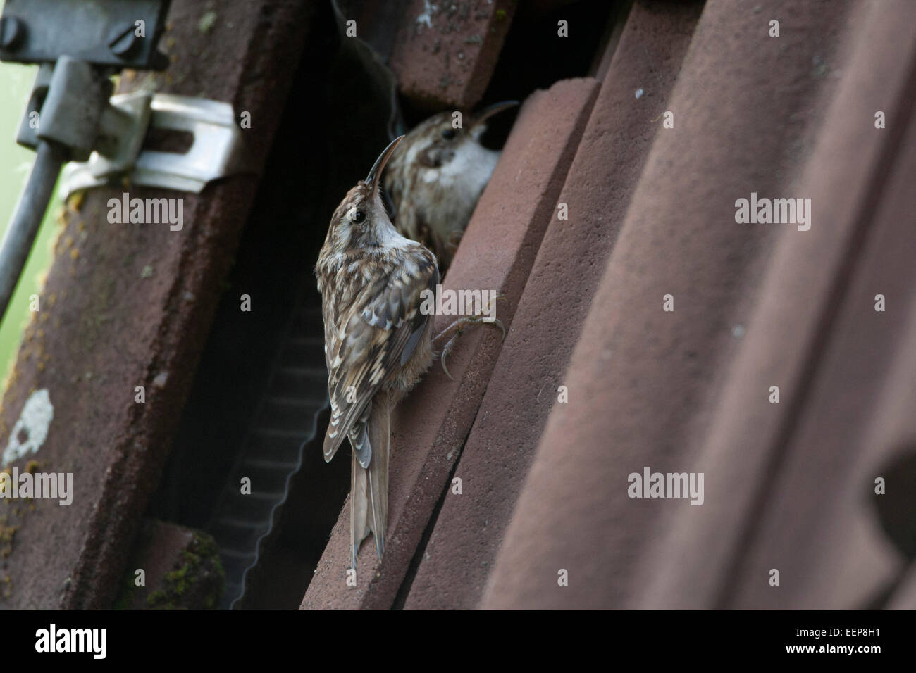 short-toed treecreeper [Certhia brachydactyla] refer the roof as nesting place - Stock Image