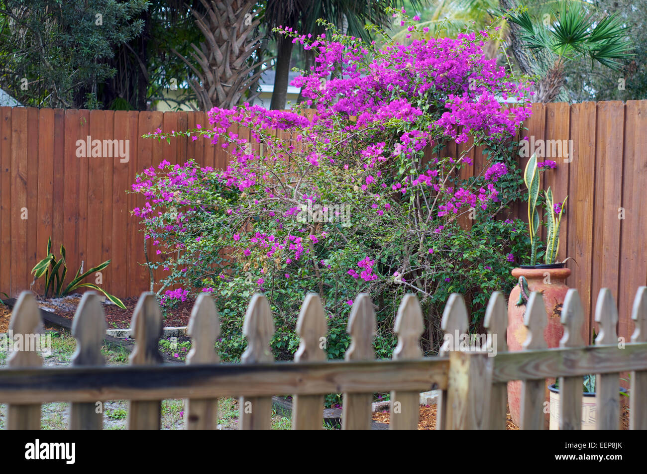Bonita springs fl stock photos bonita springs fl stock images alamy looking over a picket fence towards a large bougainvillea plant in bloom in backyard garden in mightylinksfo