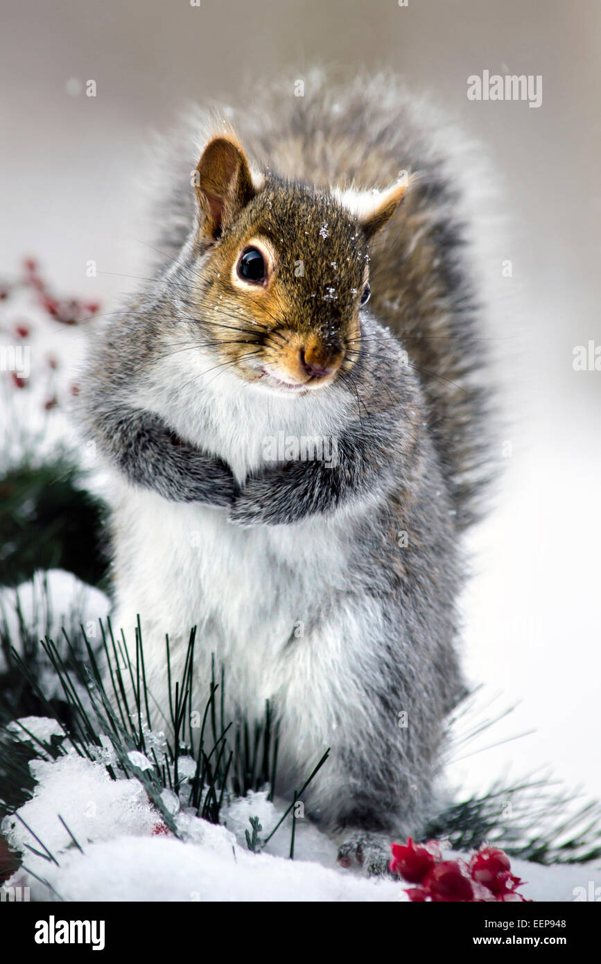 Eastern Grey Squirrel close up portrait in snowy winter environment. - Stock Image