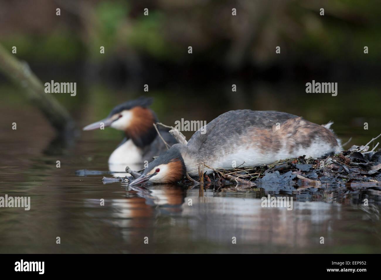 Haubentaucher  / Podiceps cristatus / great crested grebe [Podiceps cristatus] - Stock Image