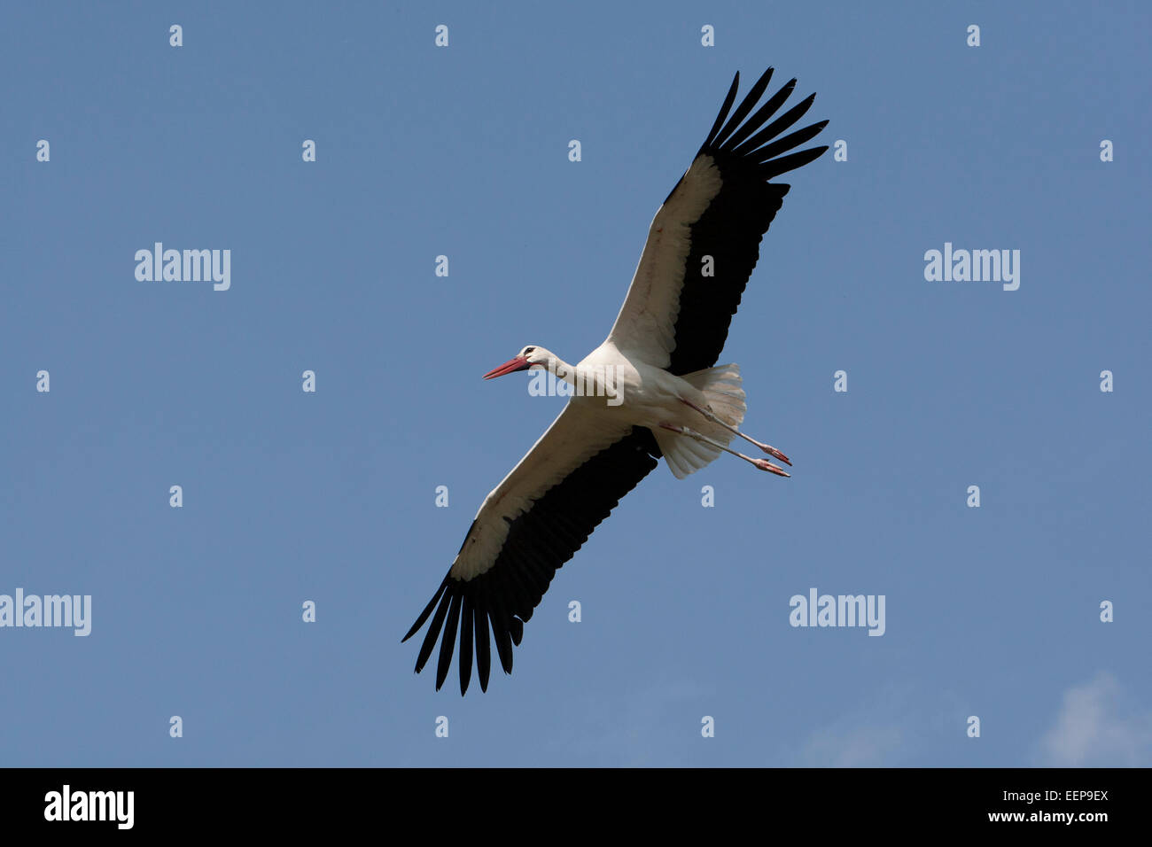white stork [Ciconia ciconia], Weissstorch, germany - Stock Image