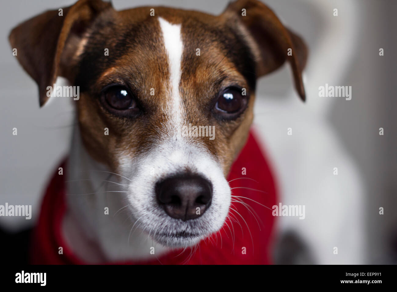 Ronnie Jack Russell Terrier Pedigree - Stock Image