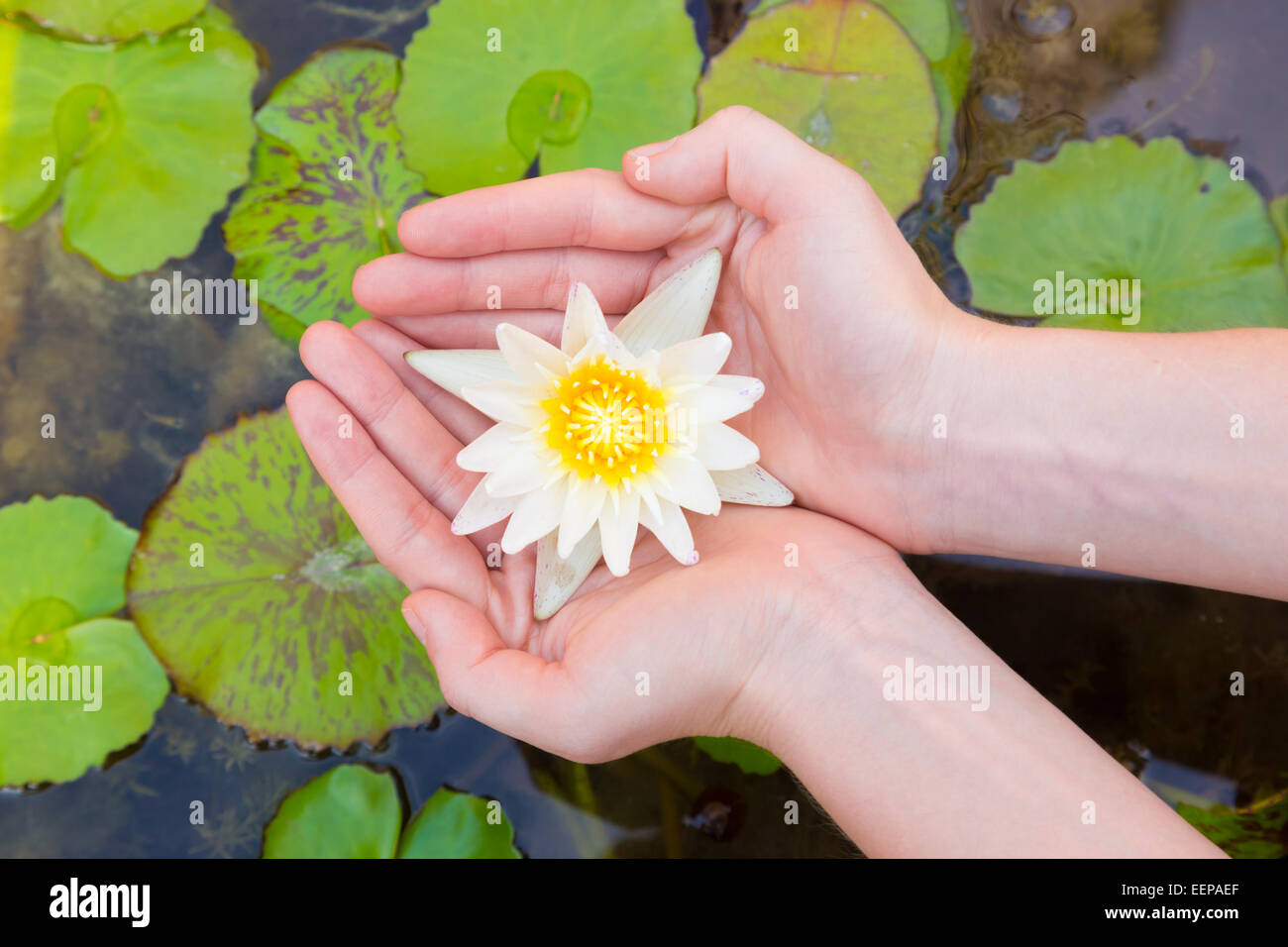 Each Holding Lotus Flower Stock Photos Each Holding Lotus Flower