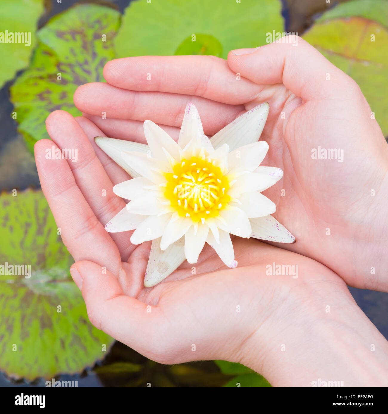Hands holding lotus stock photos hands holding lotus stock images woman hands holding lotus flower stock image izmirmasajfo