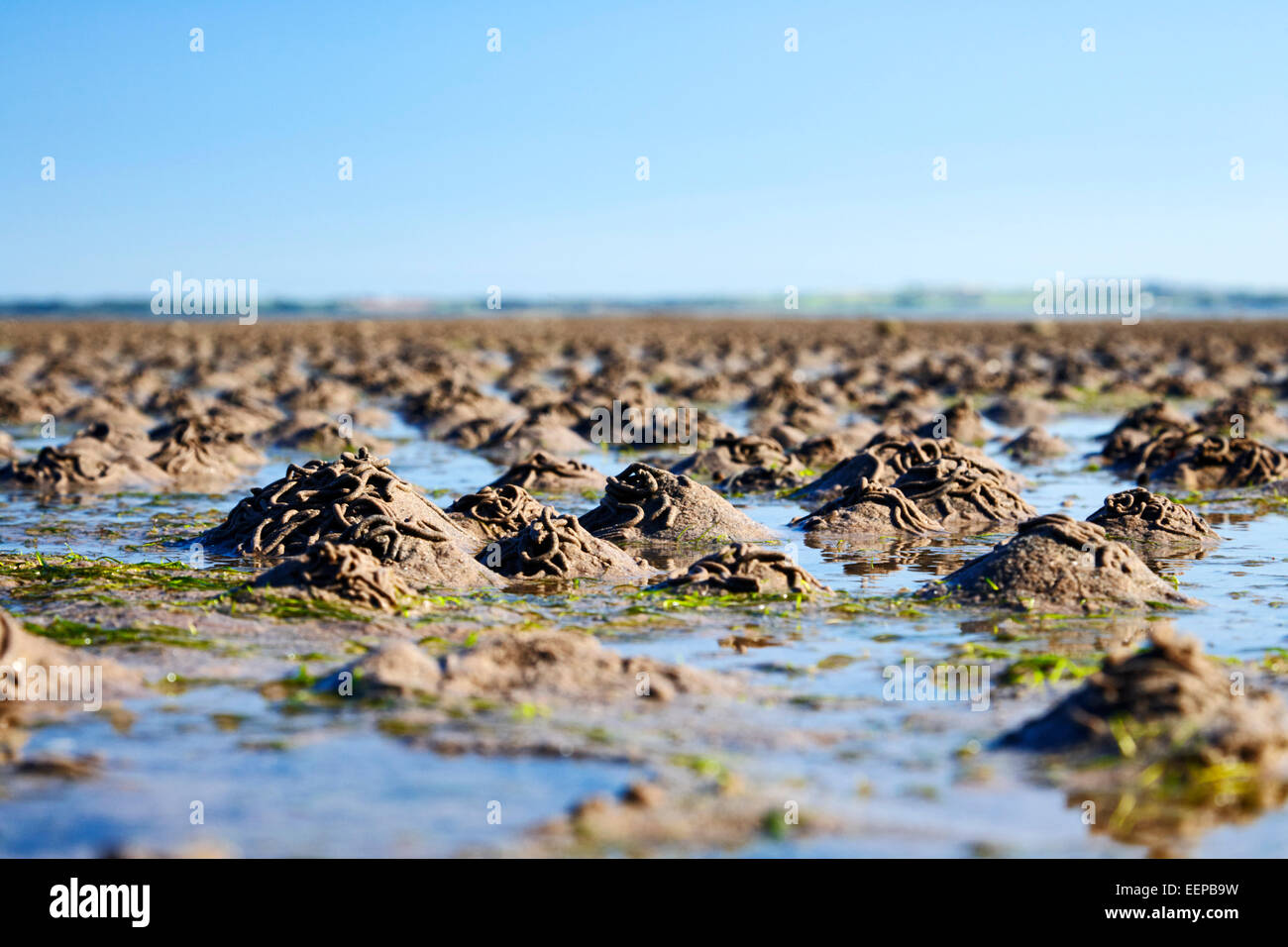 lugworm casts on the beach at strangford lough northern ireland - Stock Image