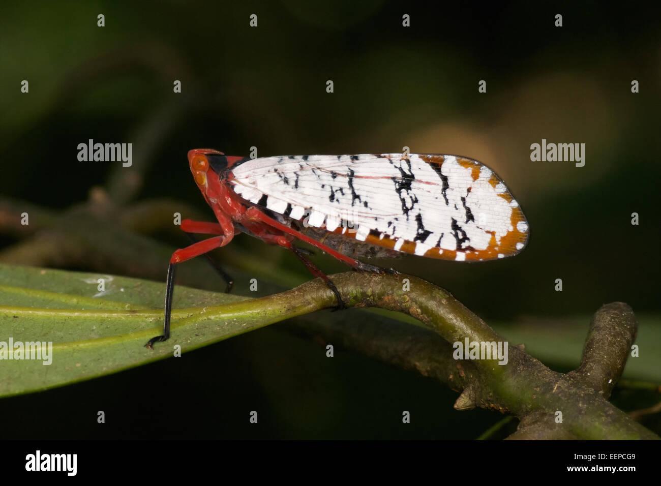 Aphaena submaculata lantern bug, Thailand. - Stock Image