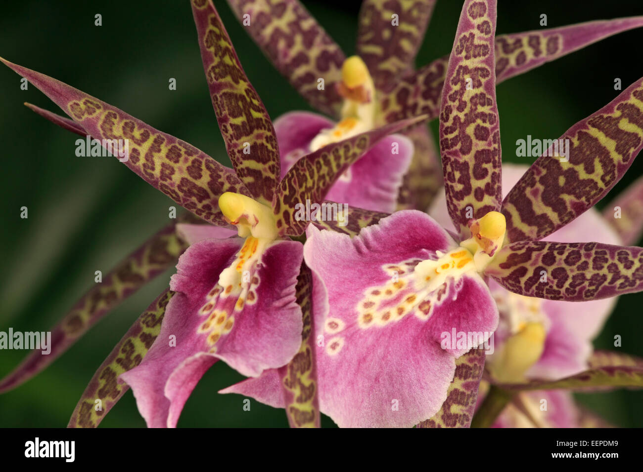 Orchid flowers, variety Miltassia CM Fitch 'Izumi' - Stock Image