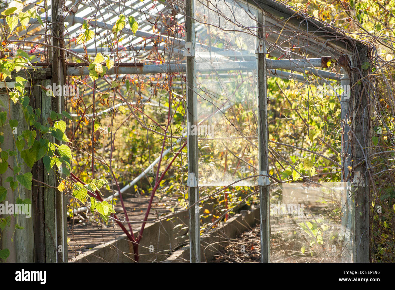 Dilapidated greenhouse over run with weeds - Stock Image