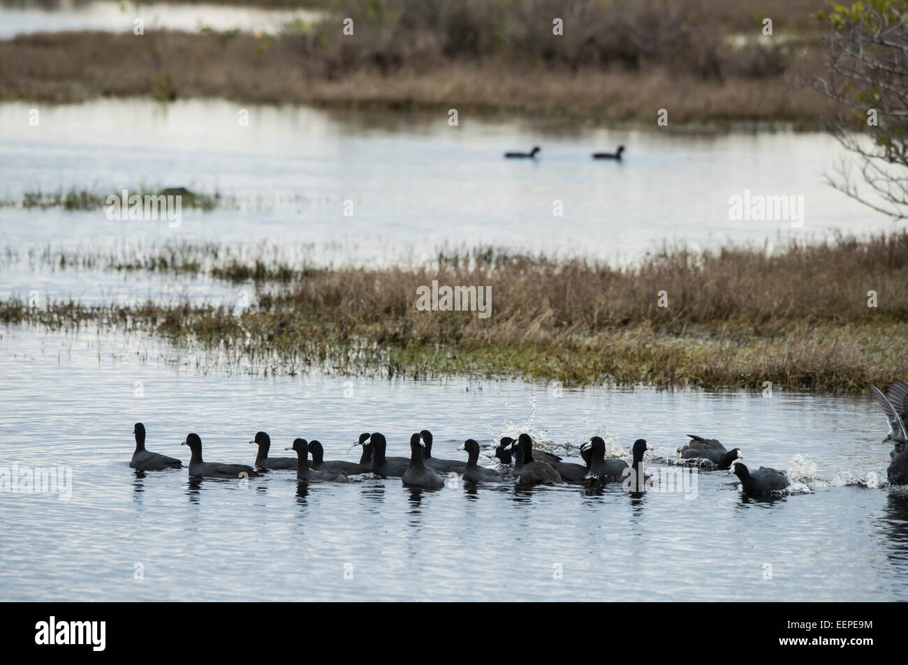 American Coots and  marsh at Merritt Island NWR Stock Photo