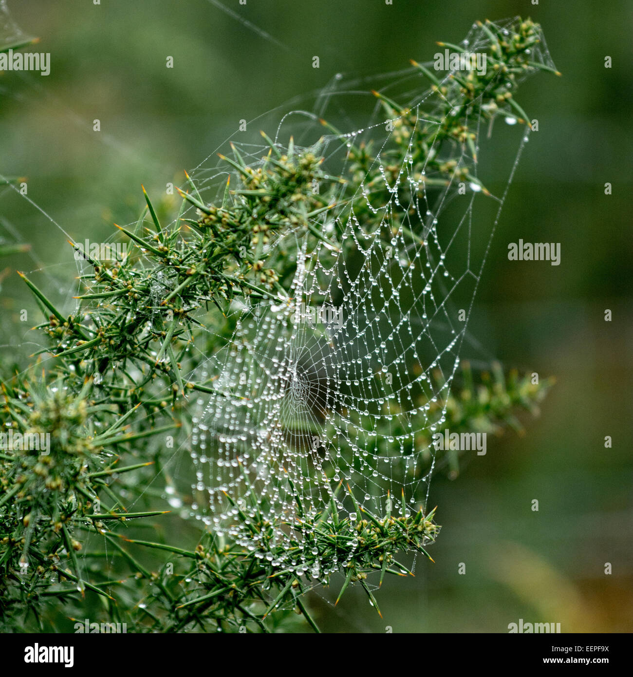Close up of gorse with dew covered cobweb - Stock Image