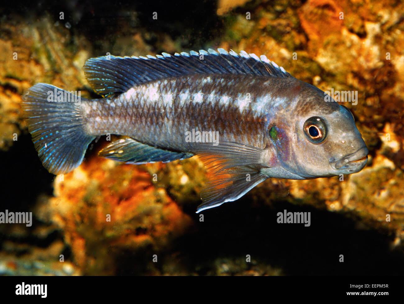 Melanochromis sp., Cichlidae, Malawi Lake, Africa - Stock Image