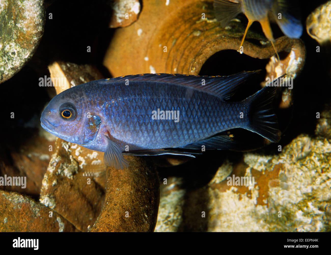 Pseudotropheus tropheops Cichlidae, Malawi Lake, Africa - Stock Image