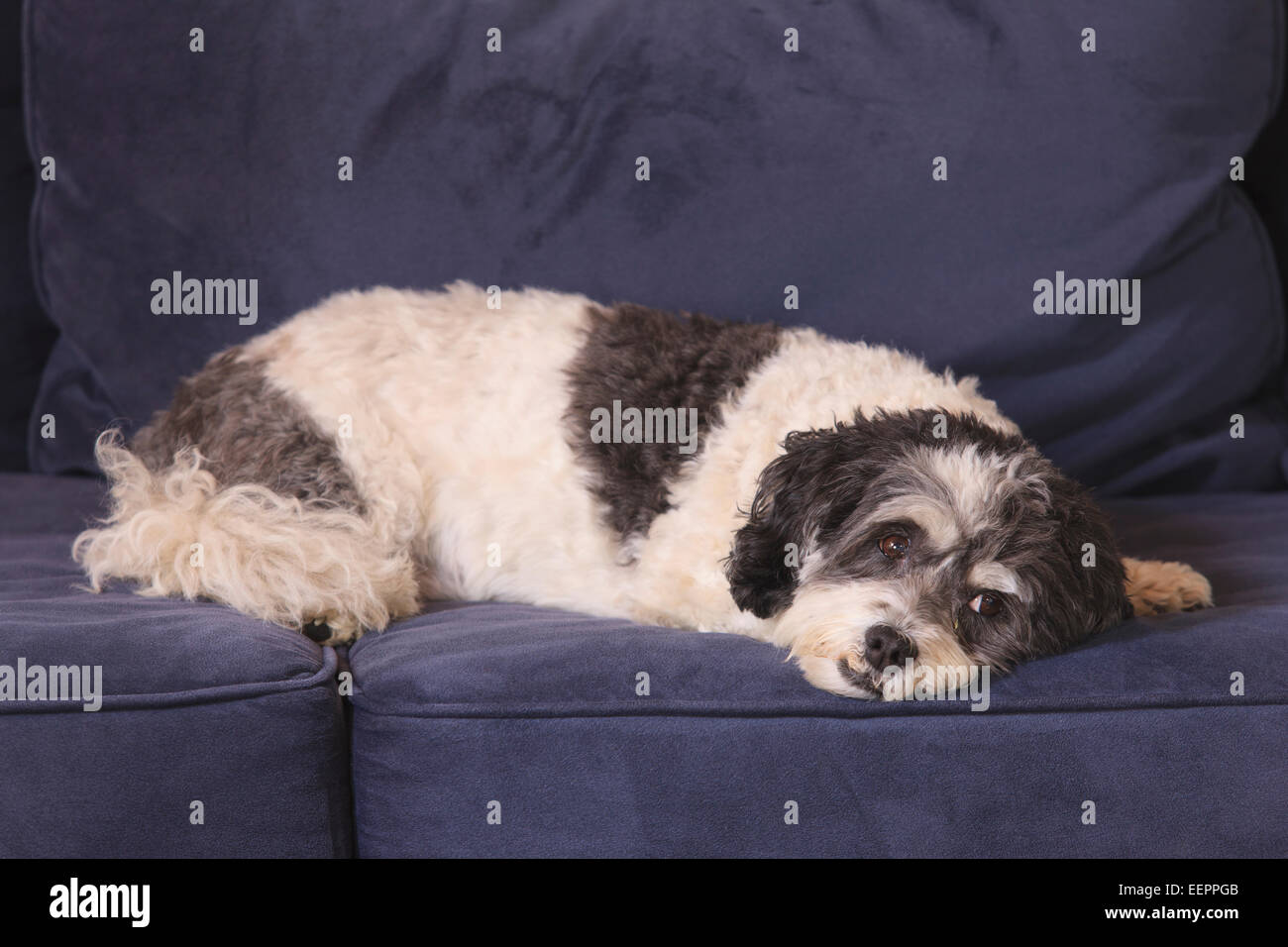 Service Dog resting on couch - Stock Image