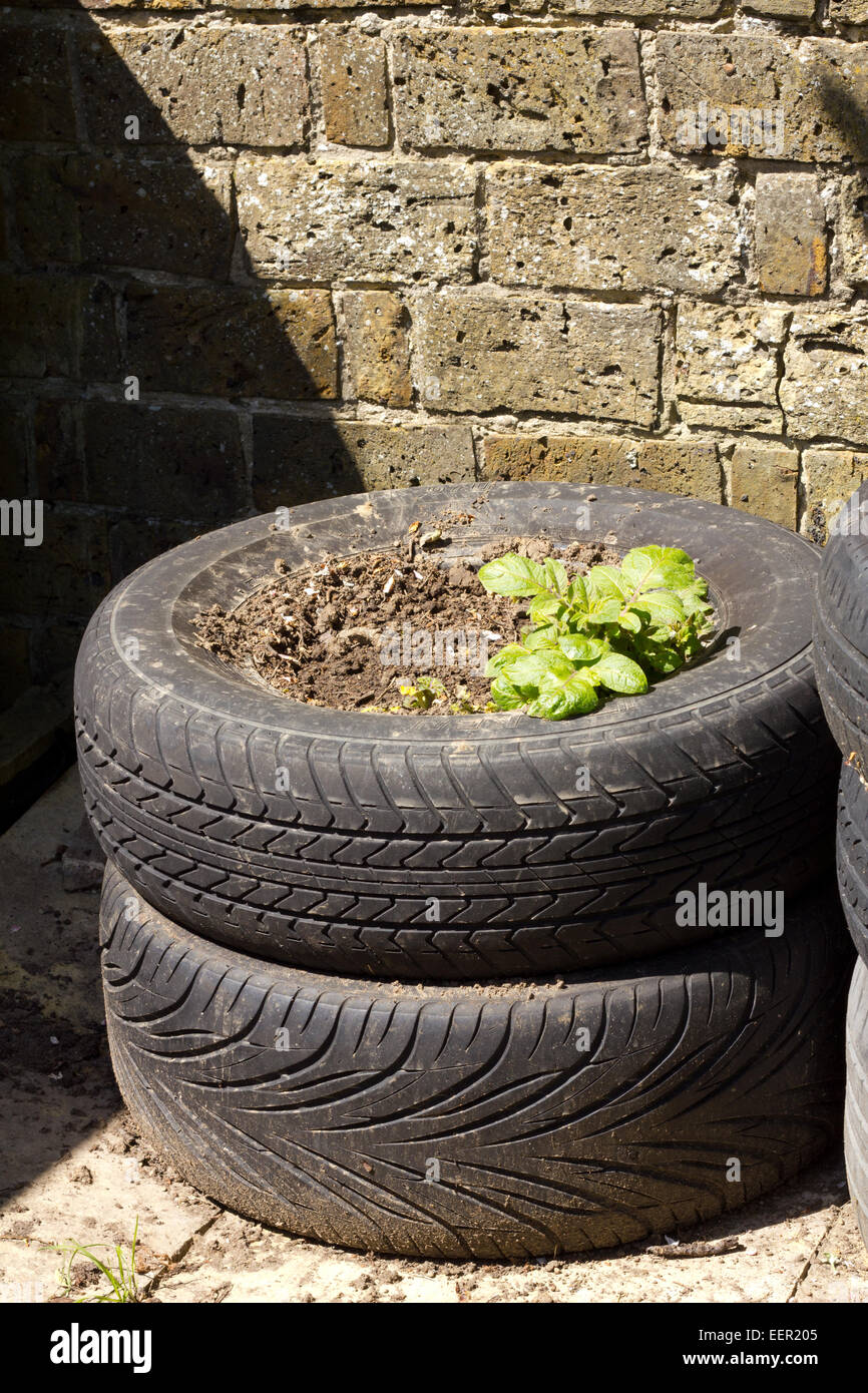 Stack of two tyres being reused as a potato planter - Stock Image