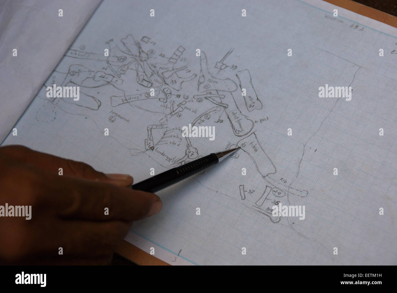 Drawings of ancient elephant--Elephas hysudrindicus-- fossils at excavation site in Central Java. - Stock Image