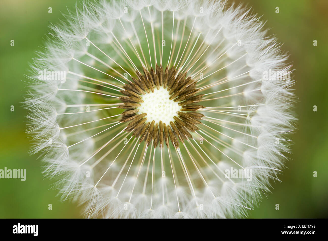 A dandelion head in seed phase photographed from above. Macro shot taken on farmland in Ireland. - Stock Image