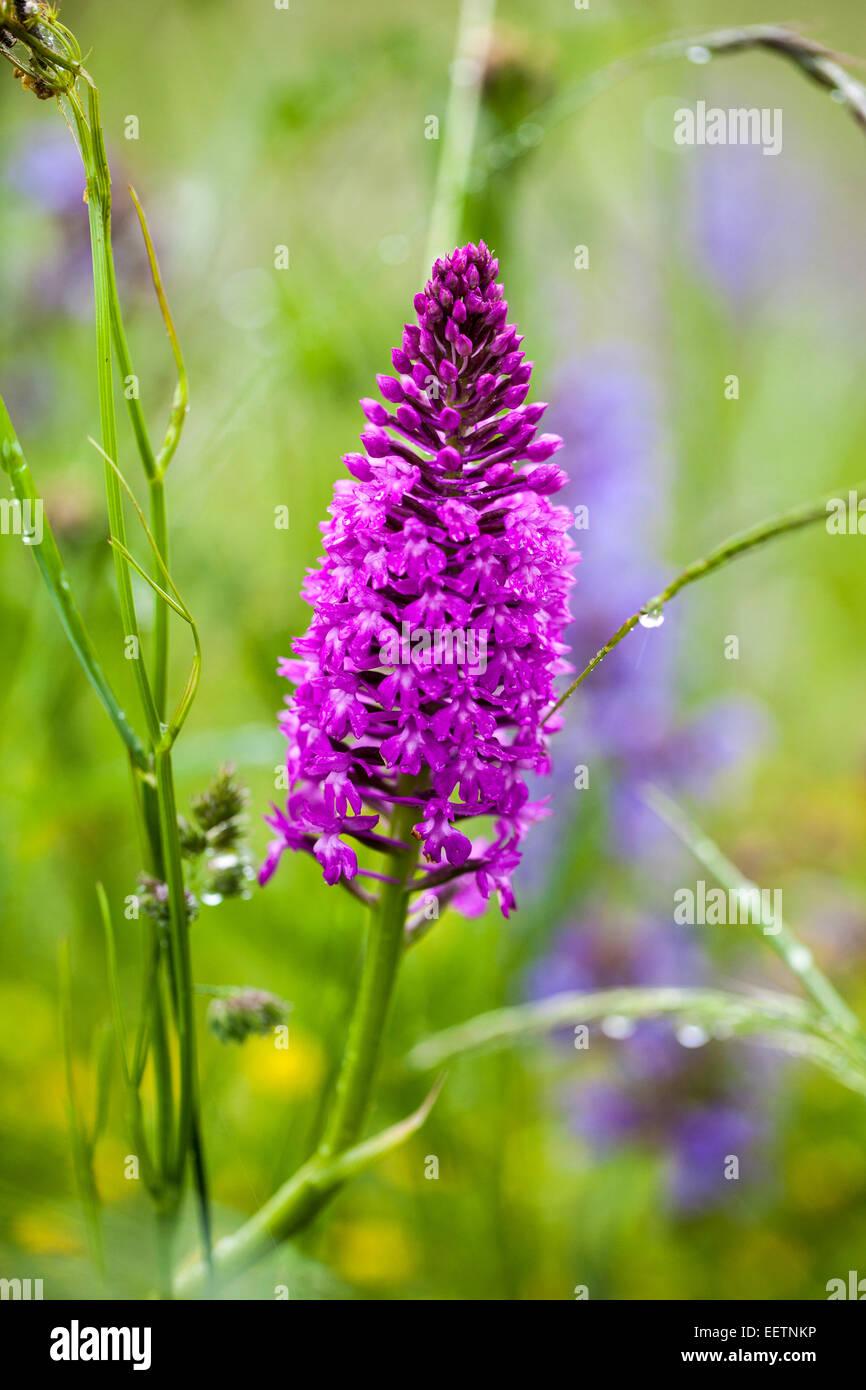 Pyramidal orchid Anacamptis pyramidalis Stock Photo