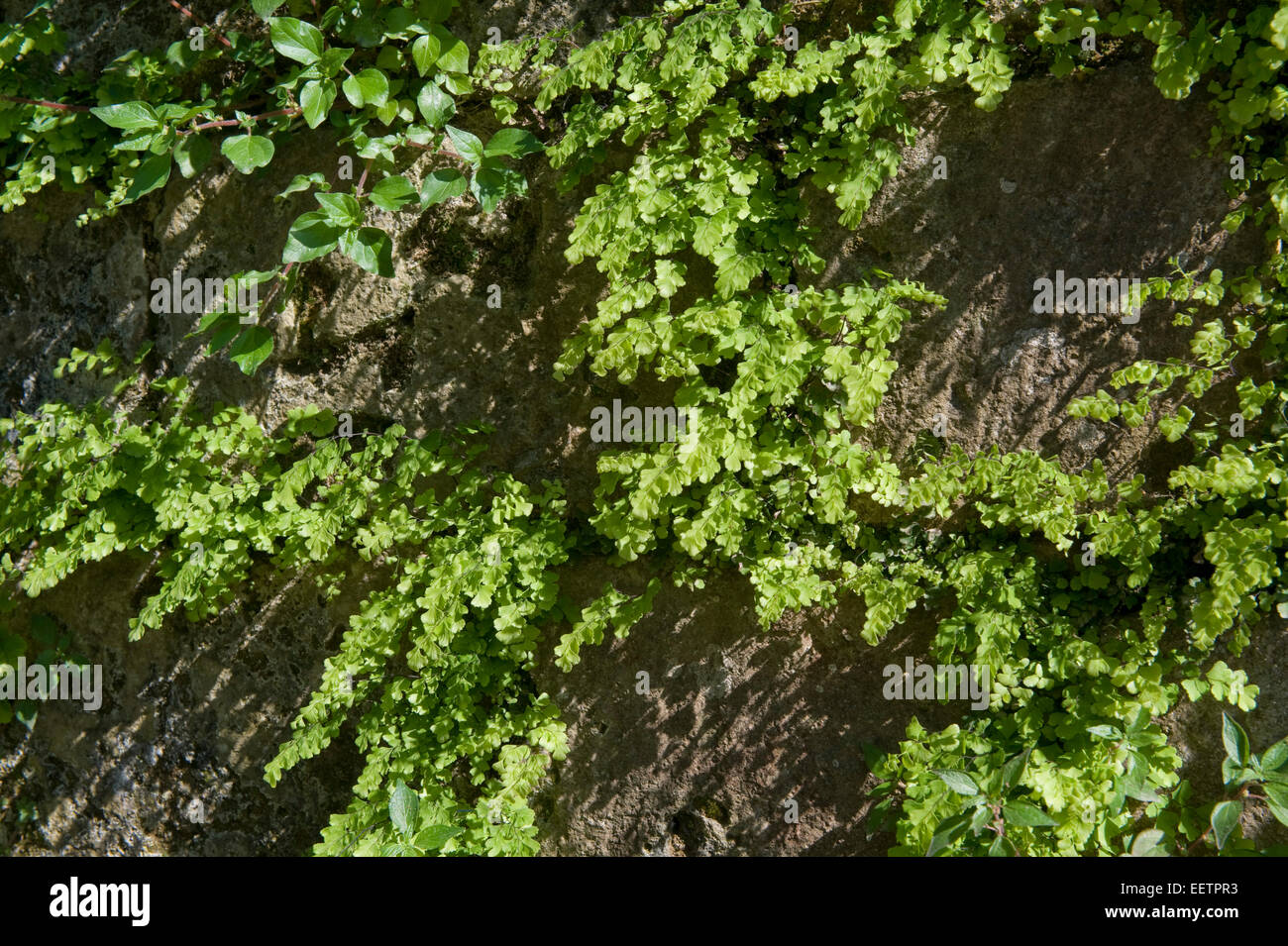 Maidenhair fern, Adiantum capillus-veneris, plants growing in the crevices of an old brick wall arch near Sorrento, Stock Photo