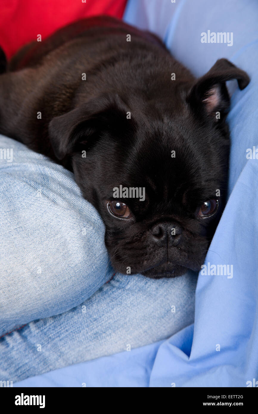 Woman cuddling her black Pug, Bean, beside her as she sits on a sheet-covered sofa - Stock Image