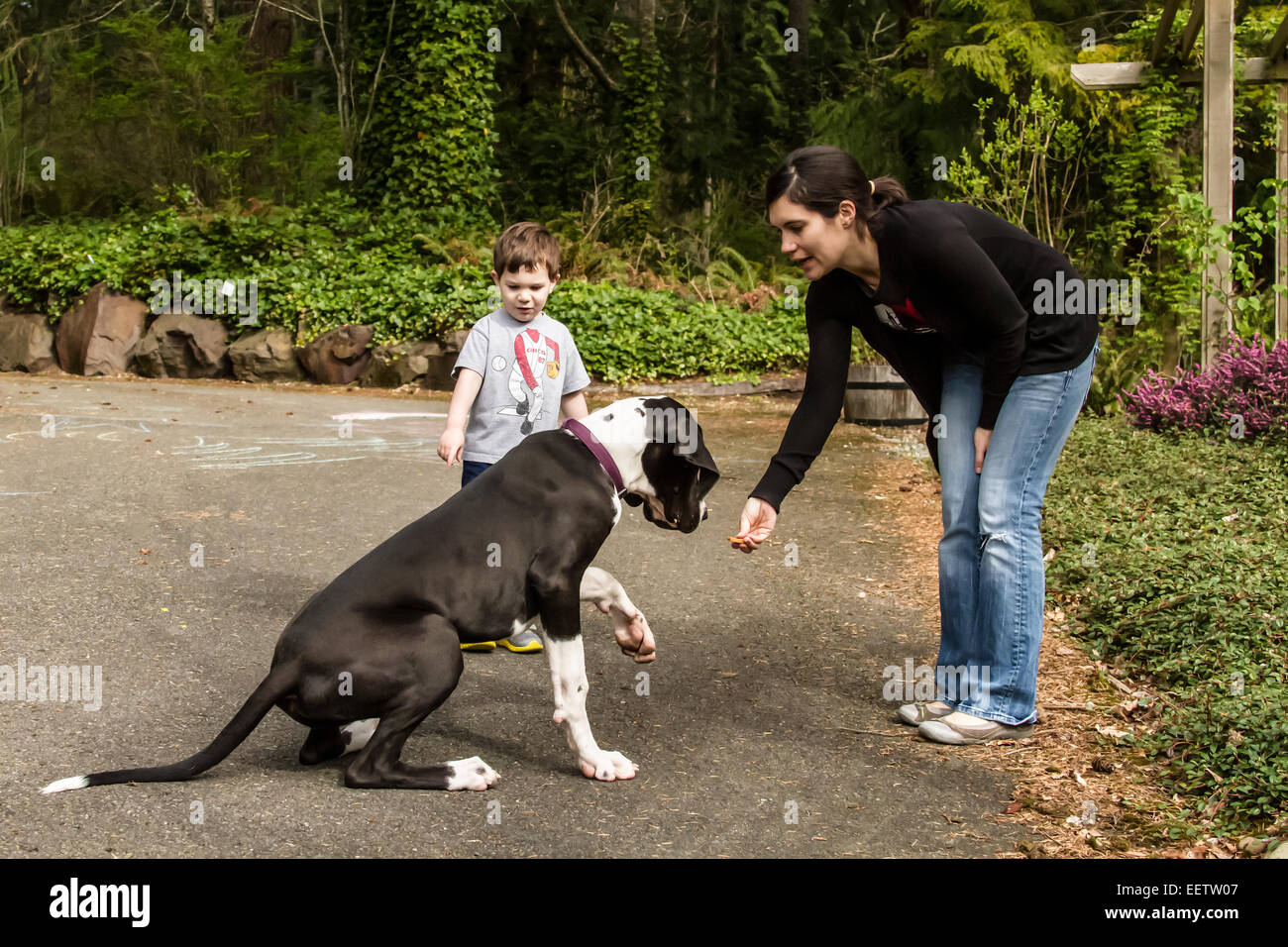 Six month old Great Dane puppy, Athena, being trained to do the 'shake' command, in Issaquah, Washington, - Stock Image
