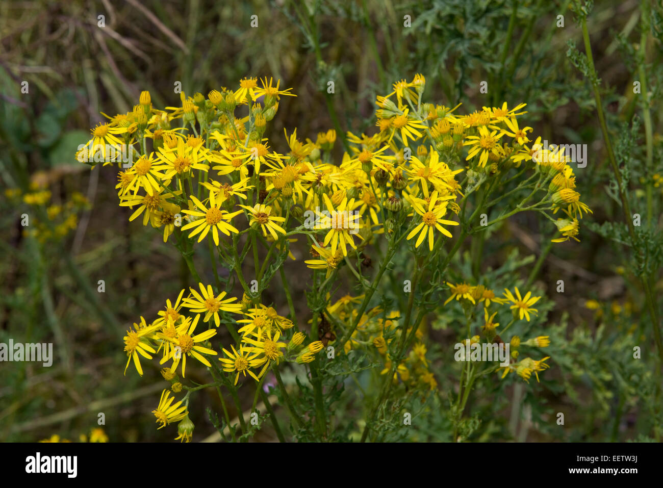 Ragwort Jacobaea Vulgaris Or Senecio Jacobaea Yellow Flowers On