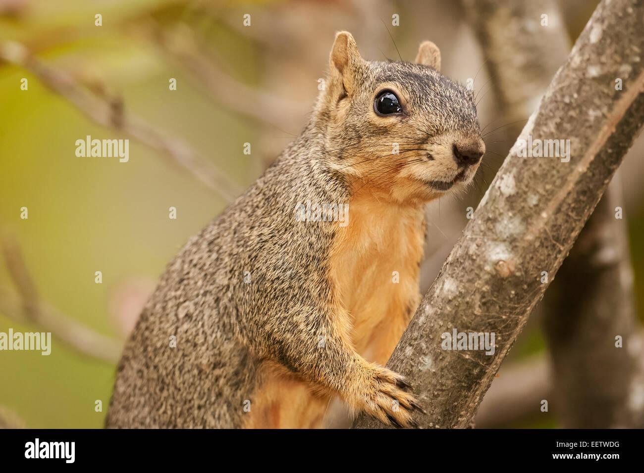 Eastern Fox Squirrel climbing a tree in a backyard in Houston, Texas - Stock Image