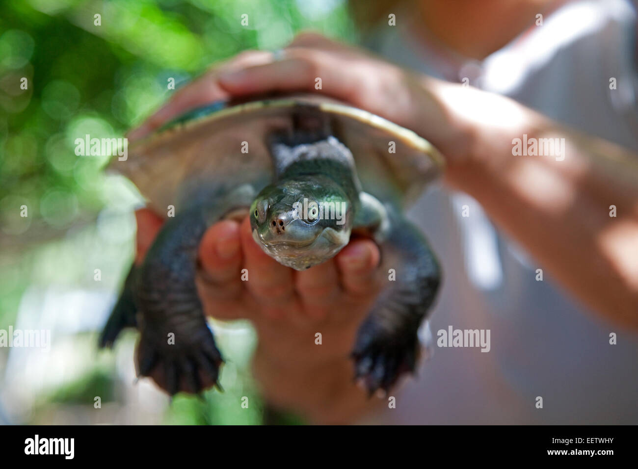 Freshwater turtle in the hands of a ranger at Bungalow Bay Koala Village on Magnetic Island, Queensland, Australia - Stock Image