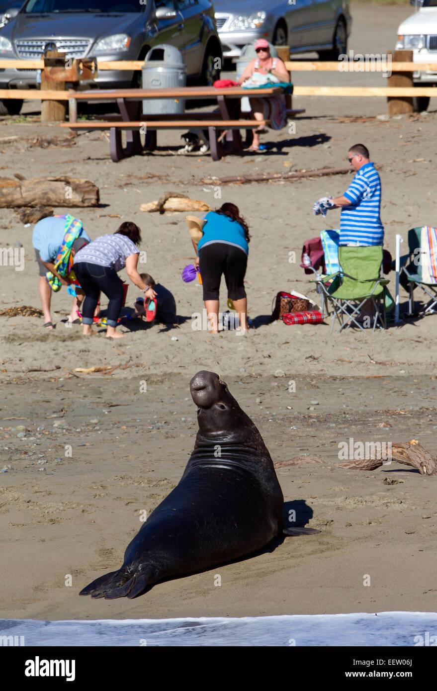 Elephant Seal Bull on Beach - Stock Image