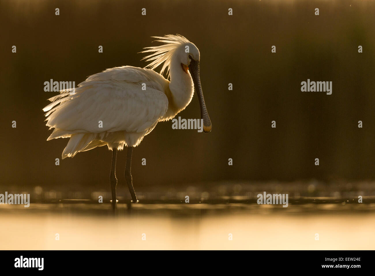 Backlit image of Eurasian Spoonbill Platalea leucorodia standing in shallow water with light shining through crest Stock Photo
