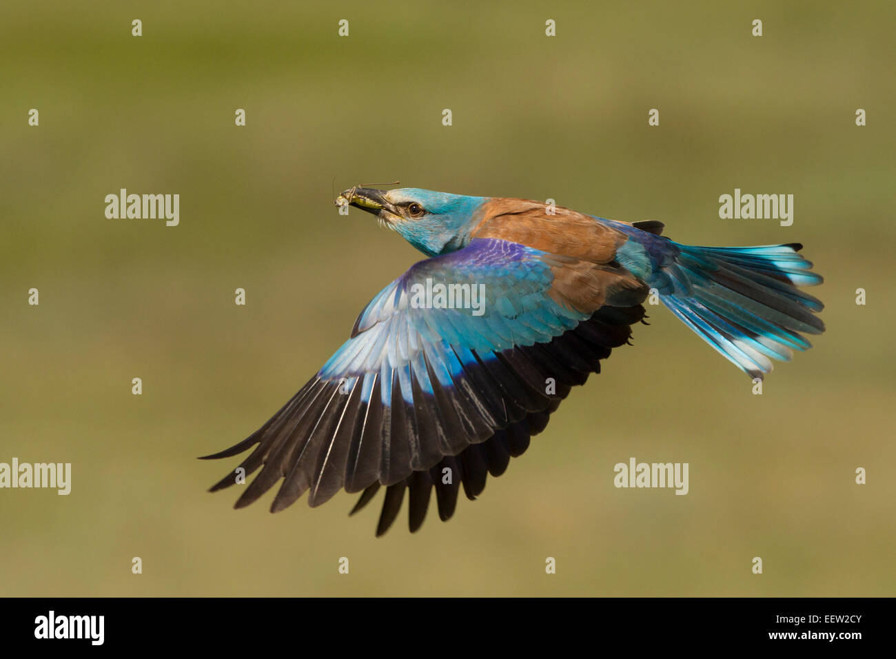 European Roller Coracias garrulus bringing food back to nest with wings outstretched flying Stock Photo