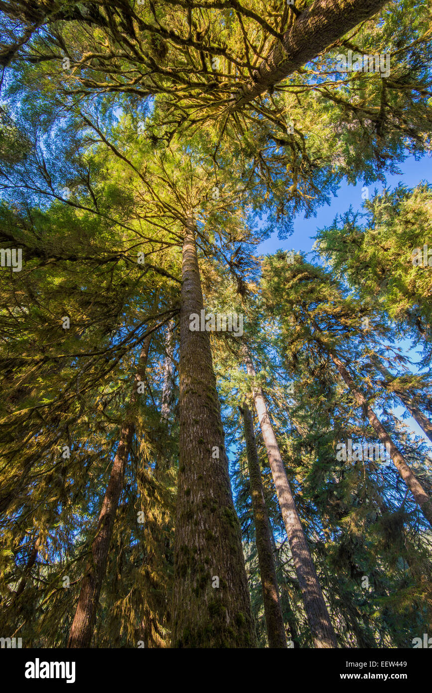 Sitka spruce or Picea sitchensis, Hoh rainforest, Olympic National Park, Washington, USA - Stock Image