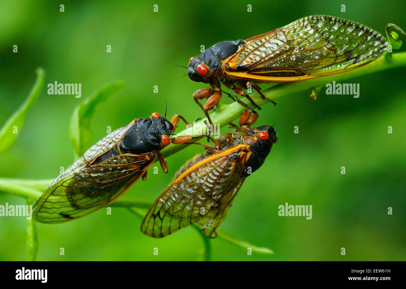 CT USA— June 18, 2013. Three Cicadas gather together on a branch along Driftwood Lane in North Branford, where a colony of Millions of the insects emerged from their 17-year slumber to mate and start the cycle over again. Stock Photo