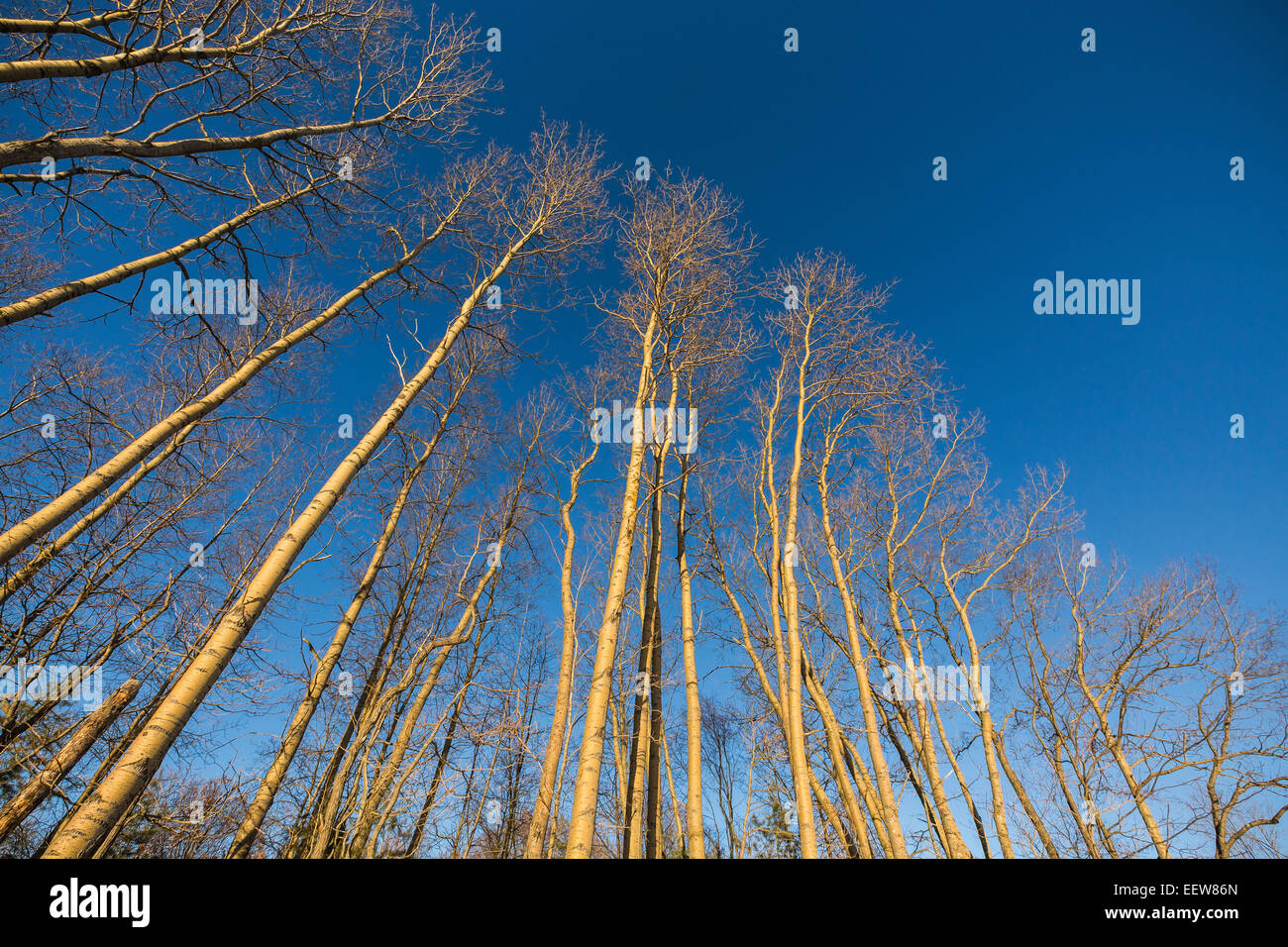 Bigtooth Aspen, Populus grandidentata, trees growing along a country road in Mecosta County near Stanwood, Michigan, Stock Photo