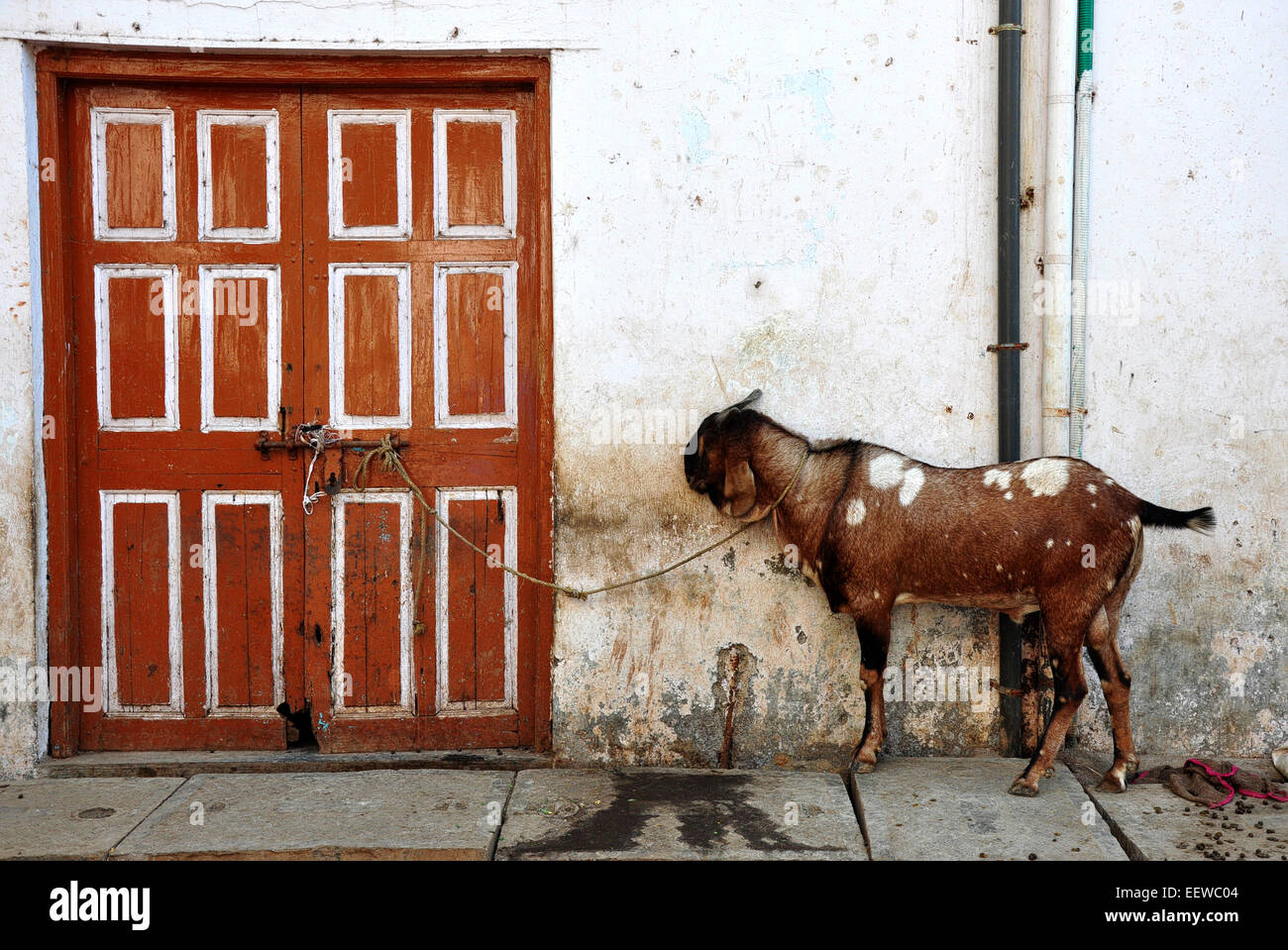 Goat tied to a door in the Dharavi slum, Mumbai - center of the leather production industry - Stock Image