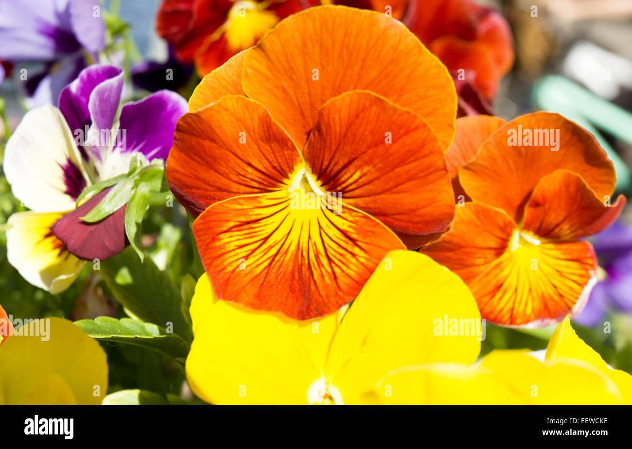Two pansies (viola tricolor) of orange colour. - Stock Image